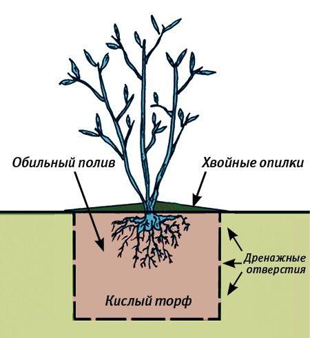 Как выращивается черника в саду