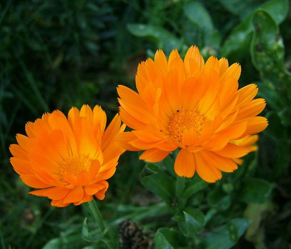 Календула – яркая, сочных цветов