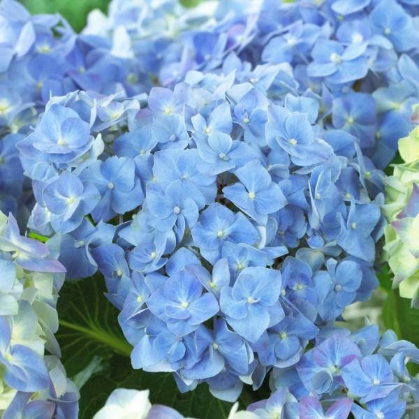 Калийные удобрения придают соцветиям красивый оттенок