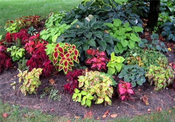 Колеус внесёт новые краски в ваш сад
