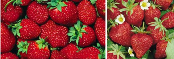 Красавица Загорья и Эстафета - самые урожайные сорта садовой земляники в нашем обзоре