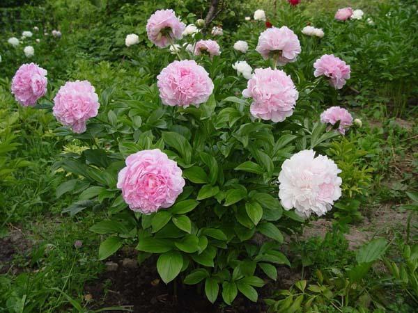 Куст розового пиона.