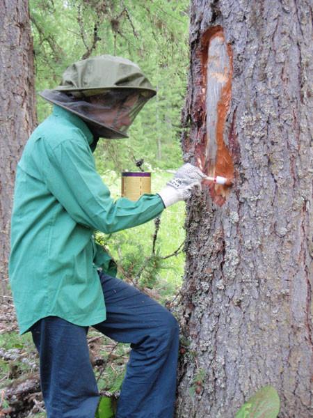 Лечение деревьев краской