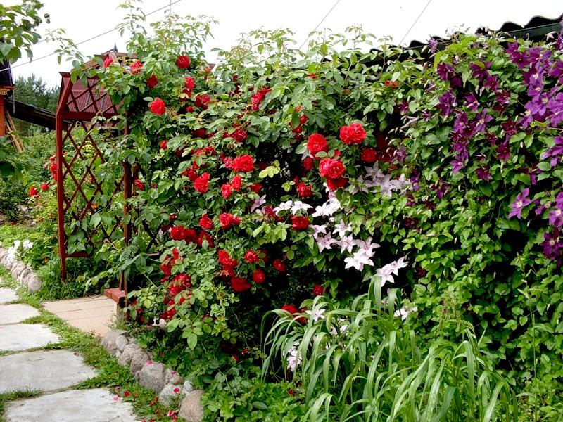Плетущиеся садовые цветы кустарники фото и название
