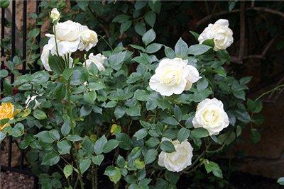 Лучшие сорта роз для сада – это, конечно, клумбовые