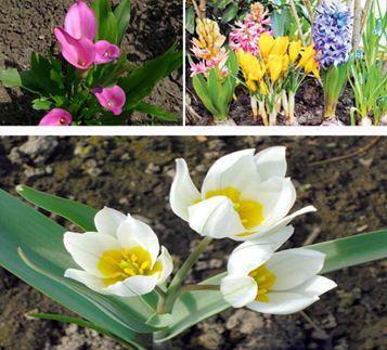 Луковичные растения для сада – украшение любой территории