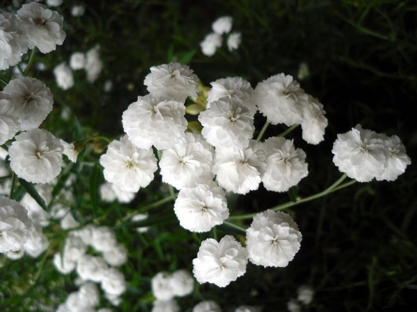 Махровые соцветия очень нежные и элегантные