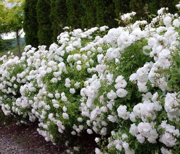 Морщинистые розы в период цветения похожи на легкое облако, которое опустилось рядом с вашим домом
