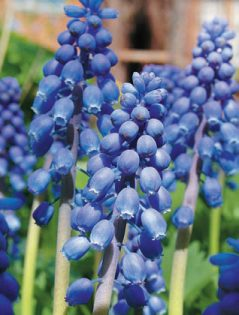 Мускари родом из Армении, но это супер холодостойкие цветы для дачи