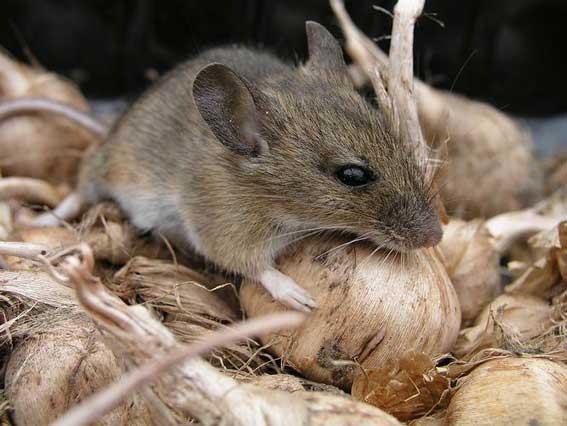 Мышь домовая любит запасы овощей
