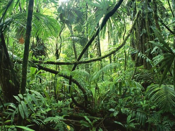 На фото - лианы в естественной среде обитания