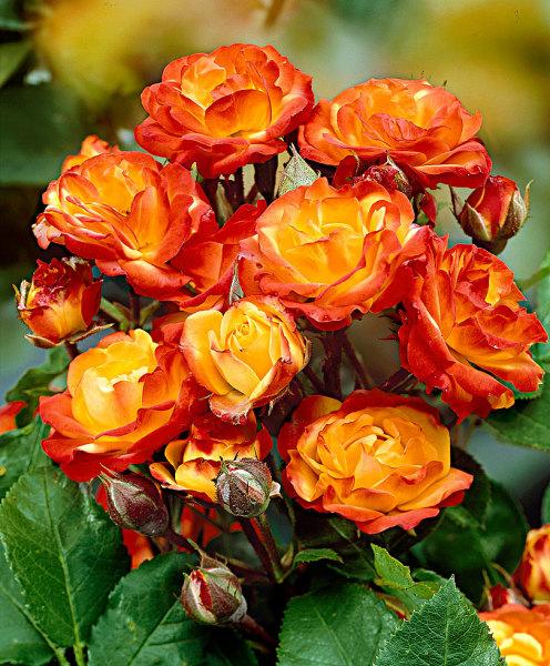 На фото - очаровательные соцветия флорибунда.