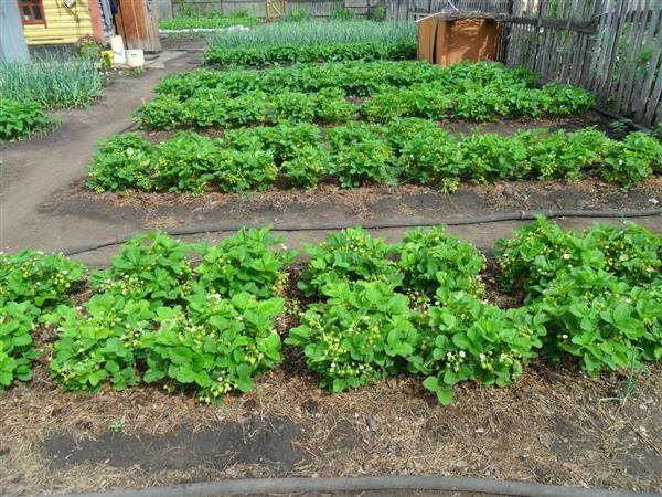 На фото - выращивание земляники на отдельных грядках