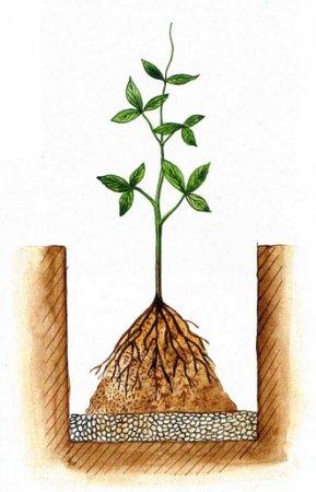 На фото: как должен располагаться корень в яме