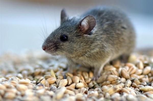 На фото маленький грызун, который за зиму в свою нору может унести до 10 кг зерновых