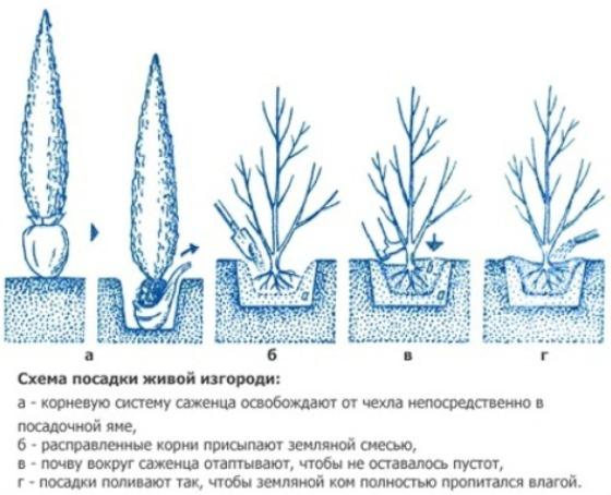 На фото показана схема посадки кипарисовых деревьев.