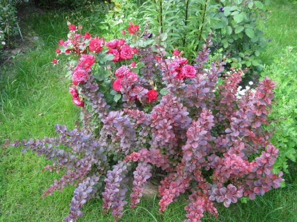 На фото показано удачное сочетание розы и барбариса.