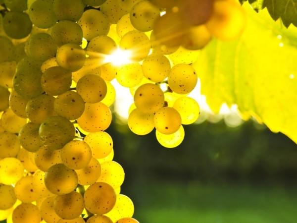 Налитые солнечными лучами гроздья винограда