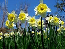 Нарциссы – одни из наиболее популярных луковичных многолетних цветов