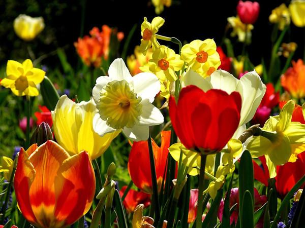 Нарциссы и тюльпаны – отличная комбинация!