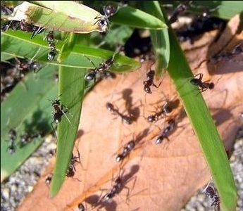 Не все знают, как бороться с садовыми муравьями на загородном участке