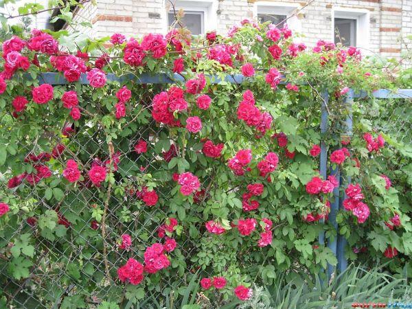 Нет красивее живой изгороди из плетущихся роз.