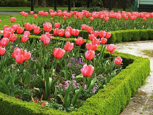 Низкорослые растения для живой изгороди на даче можно использовать в качестве декоративного забора для клумбы или аллеи