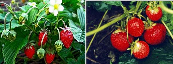 Новые сорта садовой земляники – Диана и Клубничная