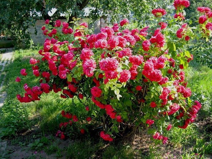 Очаровательный розовый куст