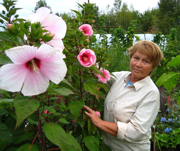 Огромные цветы гибискуса