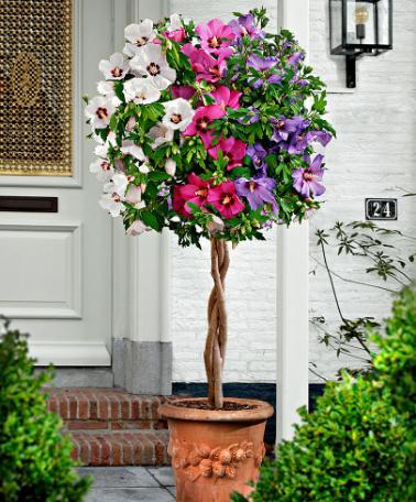 Оригинальное сплетение трёх разновидностей растения