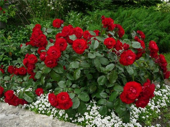 Островки розы патио на даче посреди газона выглядят мило и элегантно.