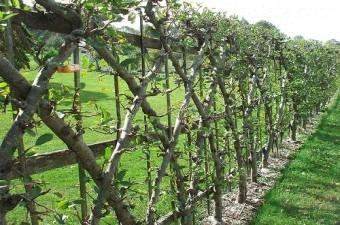 Ответ на вопрос, как сделать живую изгородь на даче методом шпалерного крепления