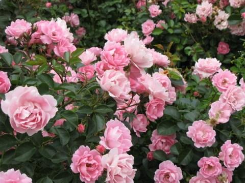 Парковая роза – красивая и неприхотливая
