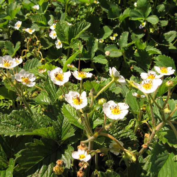 Перед появлением ягод на кустах клубники появляются бело-желтые цветочки