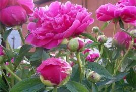 Пионы – украшение сада