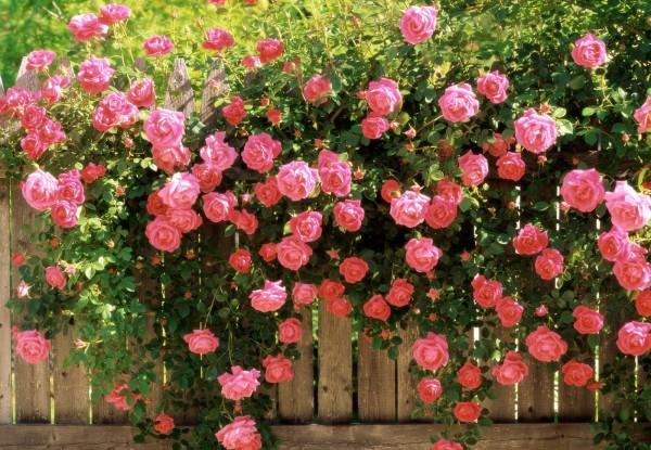 Плетистая роза в оформлении ограды