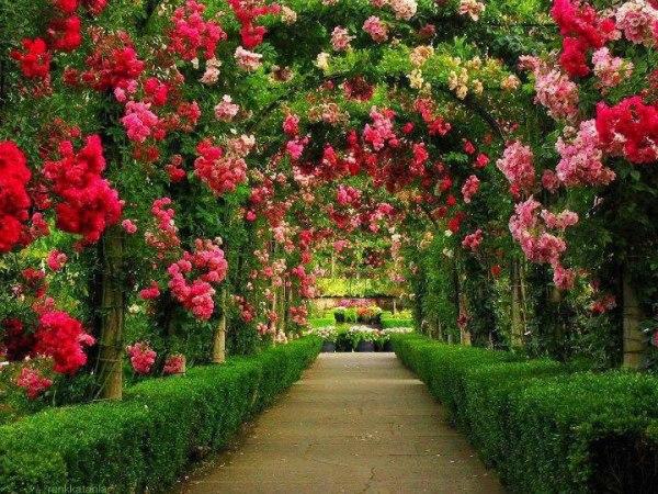 Плетистые розы сделают нашу арку предметом восхищения.