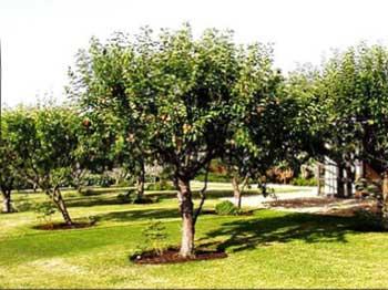 Плодовые деревья высаживайте на достаточном удалении от дома и забора