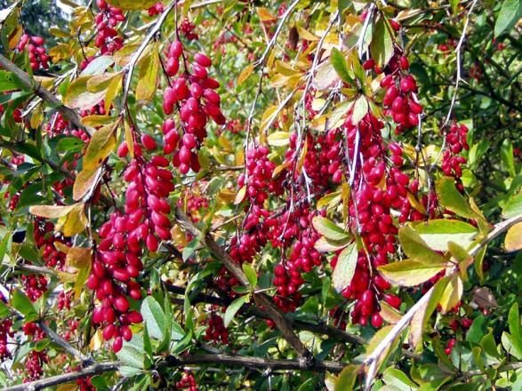Плоды барбариса съедобны