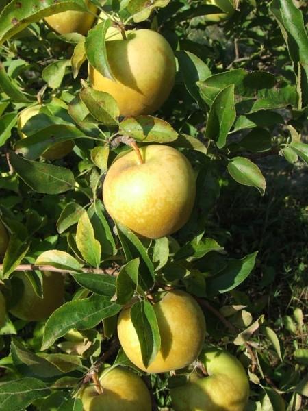 Плоды сорта Голден делишес