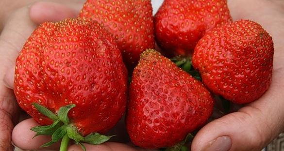 Плоды сорта садовой крупноплодной земляники достигают массы 100 г