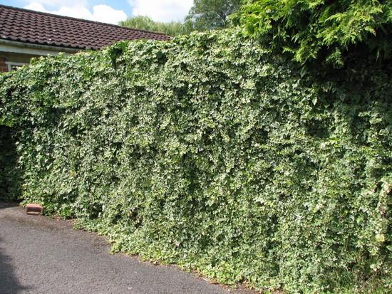 Плющ в оформлении садовой ограды