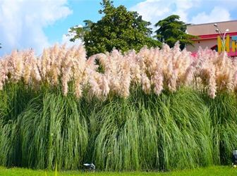 По структуре растения видно (на фото), отчего его называют пампасной травой