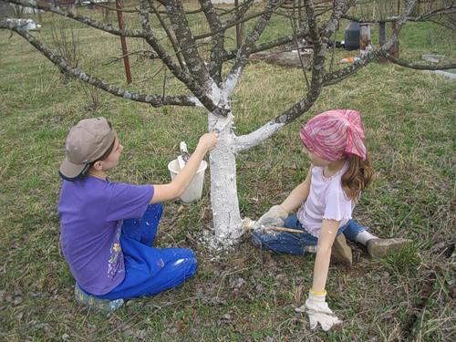 Побелка фруктовых деревьев – залог хорошего урожая
