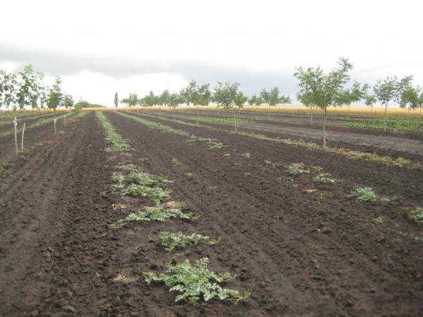 Почва в молодом ореховом саду