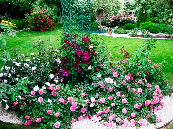 Почвопокровные пейзажные розы долговечны, неприхотливы.