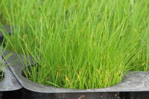 Полевица побегоносная намного неприхотливее большинства газонных трав
