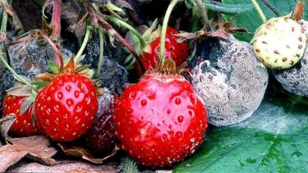 Поражённые серой гнилью ягоды уже непригодны в пищу
