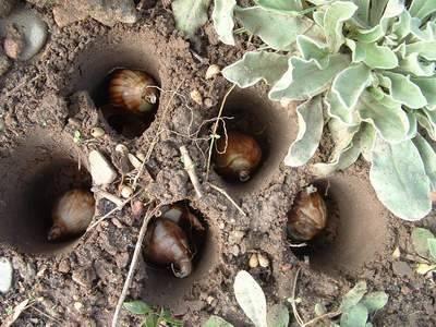 Посадка луковичных